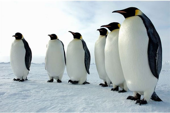 6-penguins