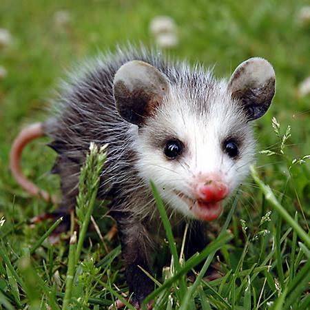 Possum (Opossum), le nouvel algorithme Google de référencement local